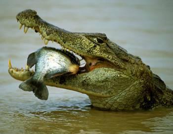 300 килограммовый крокодил обнаружен на креветочной ферме